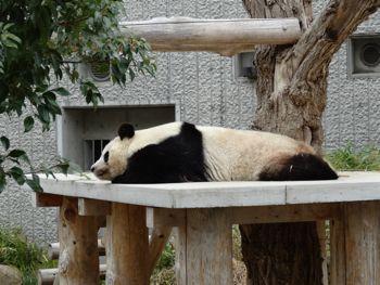 130320 zoo2-panda.jpg